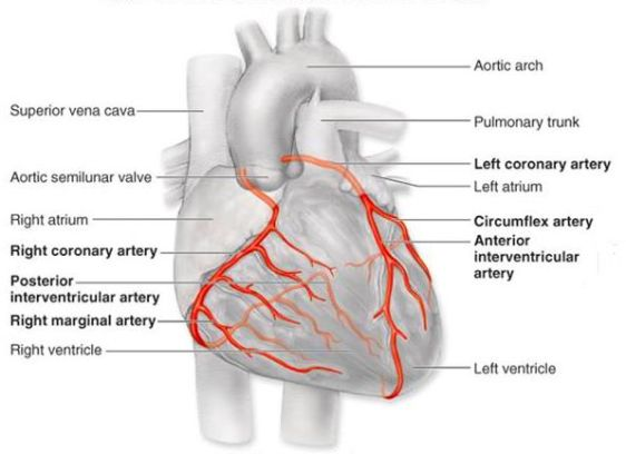CORONARY ARTERIES 19 Labeled